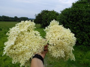 Bunch of elder flowers