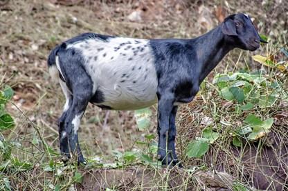 kudzu-goats-5339-edit