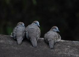 Turtle-doves-3