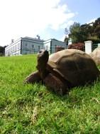 Plantation House Tortoise, St Helena Island