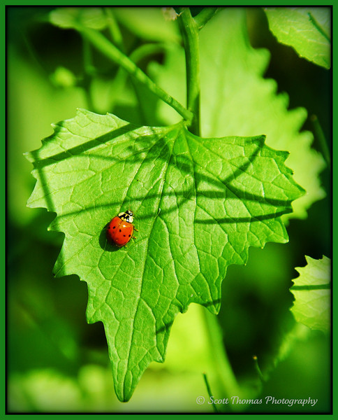 Sidelighting brings out textures on surfaces like on this leaf a ladybug is climbing on.