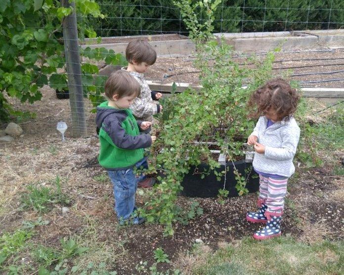 Picking Gooseberries