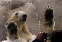 Photogenic polar bear in Copenhagen Zoo