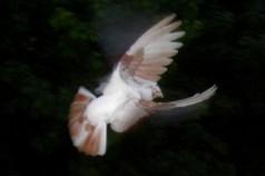 Flying pidgeon