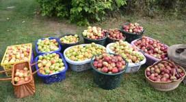 Äpfel im Abteigarten © Sabine Jackwert