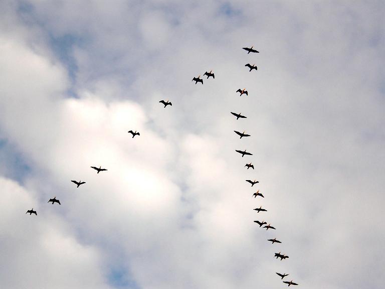 птицы летят косяком картинка светлом фоне такая