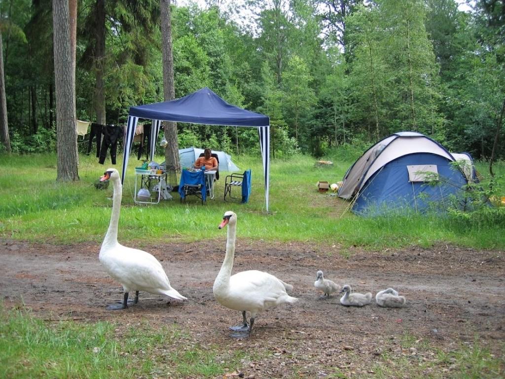 Svaner med unger på Ula telt camping
