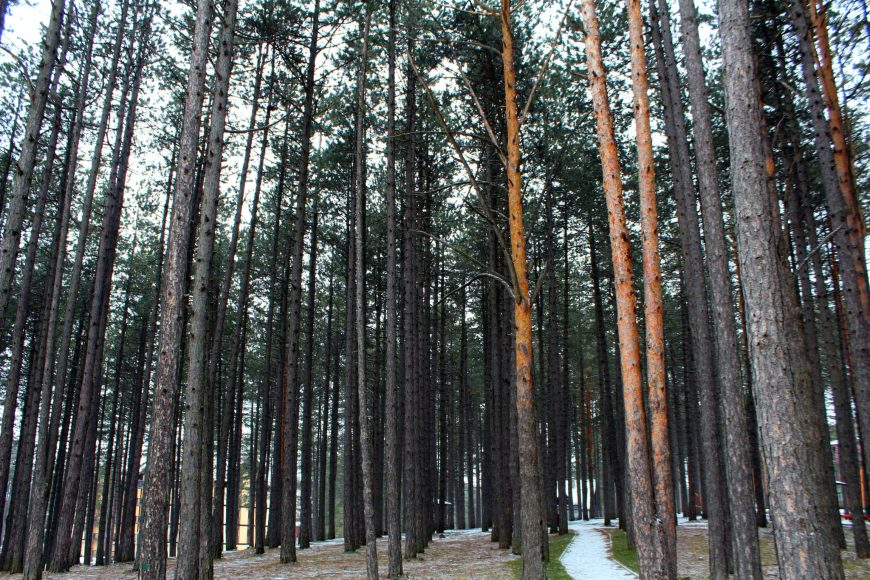 Borova šuma