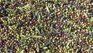 depositphotos_105844330-stock-photo-fresh-olive-fruits