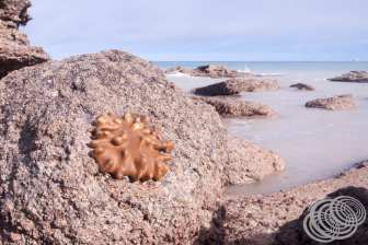 Some kind of coral or creature on a rock at Gantheaume Point