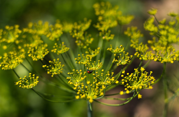 Ladybird enjoying the dill