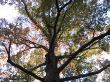 A magnificent Red Oak against the sky