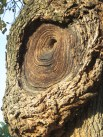 And this of a burl on one of my favorite trees in the park, a Catalpa.