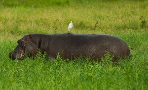 Cattle egrets are frequent companions perched on the hippo's back.