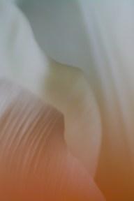 Tulip-5362