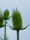 The seed pod of Teasel