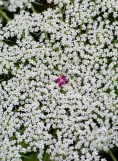 The oft-colored center of the Queen Anne's Lace flower, probably an evolutionary advantage to attack pollinators.