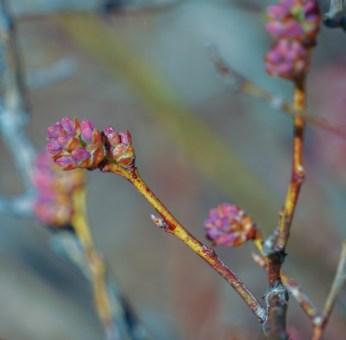 Blueberry buds sweeling