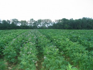 The potato field in blossom