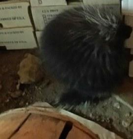 porcupine at Stillmans Farm New Braintree MA