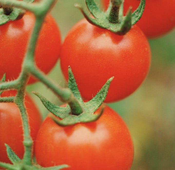 Tomato Plants - Stillman's Farm