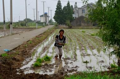 Working the rice patty field, Jhu Jiang Wan, China