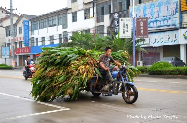 Encountered this man on my way into town. Back home I've seen where the stalks are removed when they are dry and dead. These stalks look green and healthy. Hmm....