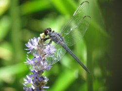 A Dragonfly Snacks on a Purple Flower