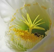 Inside the cactus flower