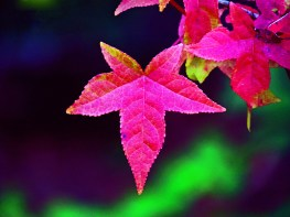 Red fall leaf.