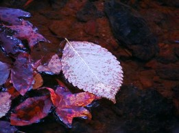 Fall leaf floating in a creek.