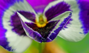 Macro nature photography of a pansy