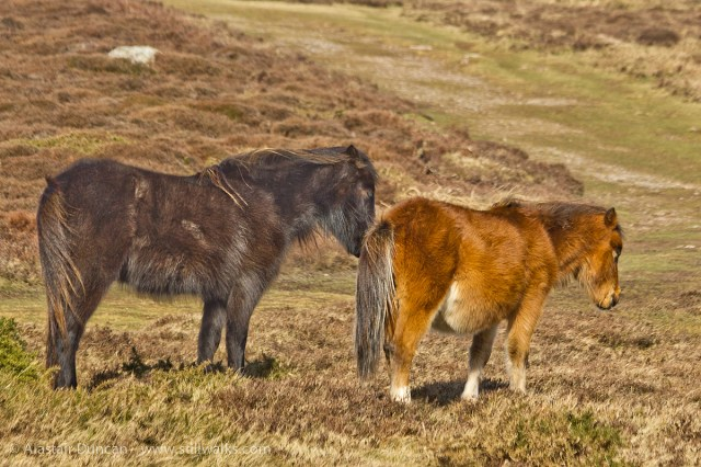 Ponies on Rhossili Down