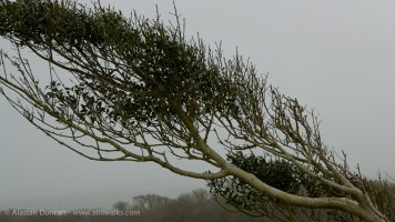 Windblown Tree in Mist