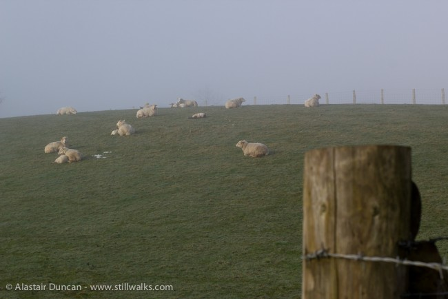 sheep and mist