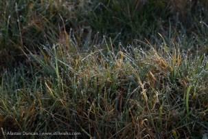 dewey grass