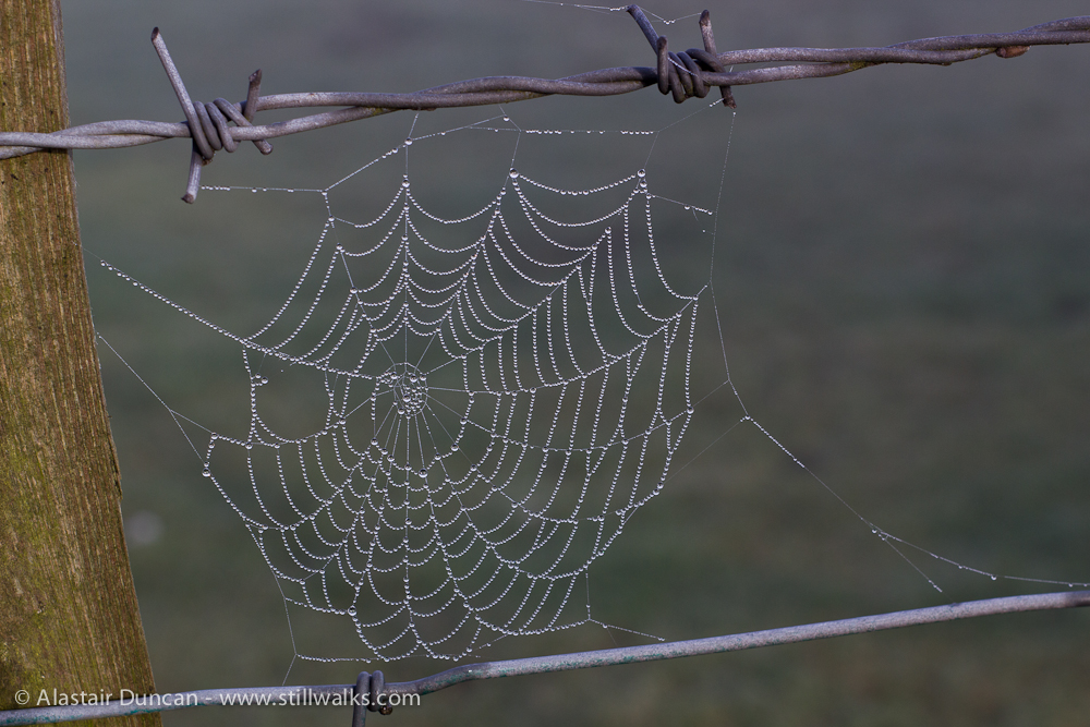 droplets on spider web