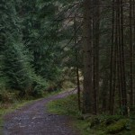 Footpath through pine woods