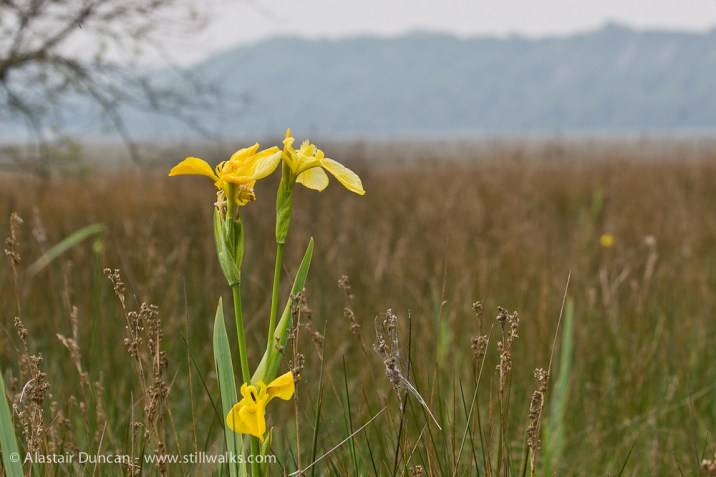 Yellow Flag - Iris