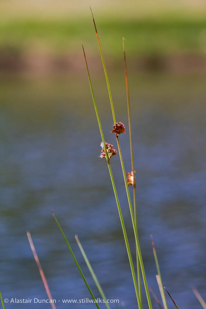waterside grasses
