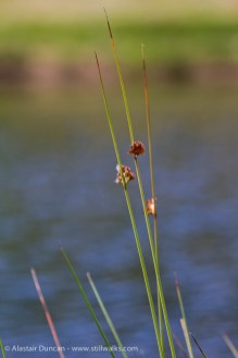 waterside grasses