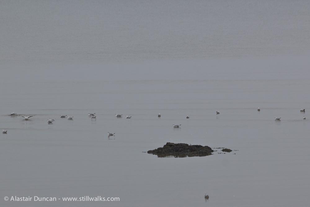 becalmed gulls