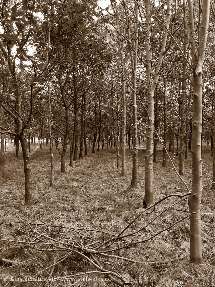 sepia woodland 1