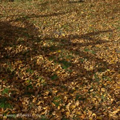 Autumn leaves and gate shadow