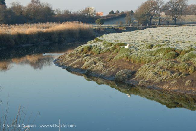 River Loughor and swan