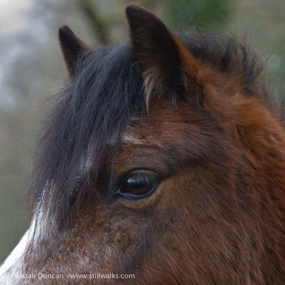 ponies eye