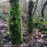 Mossy chaps on trees