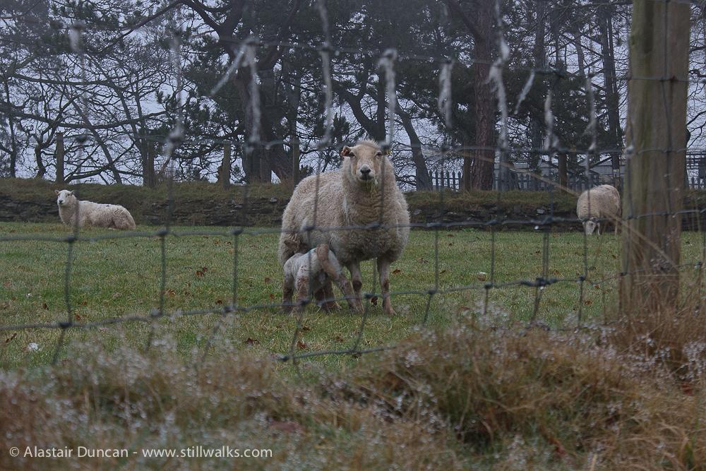 Early Spring lamb