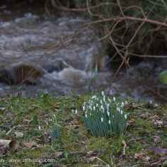 Snowdrops and river