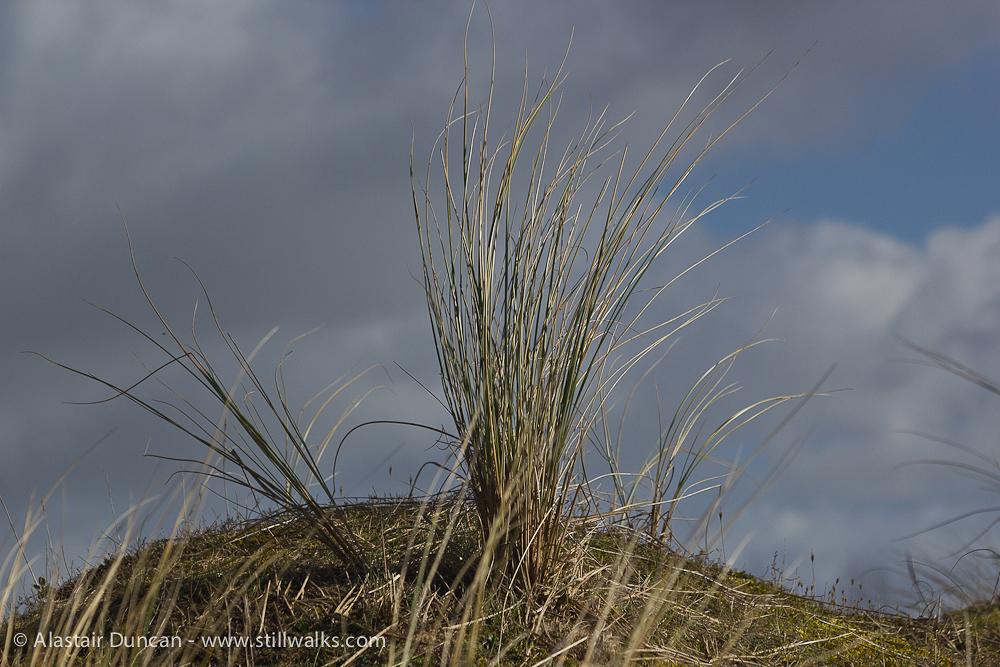 Oxwich dune grass